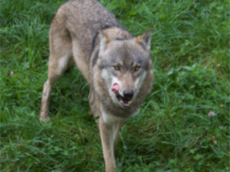 "<span style=""font-family: Cambria;"">Male Wolf (<em>Canis lup</em></span><em style=""font-family: Cambria;"">us lupus</em><span style=""font-family: Cambria;"">)</span>"